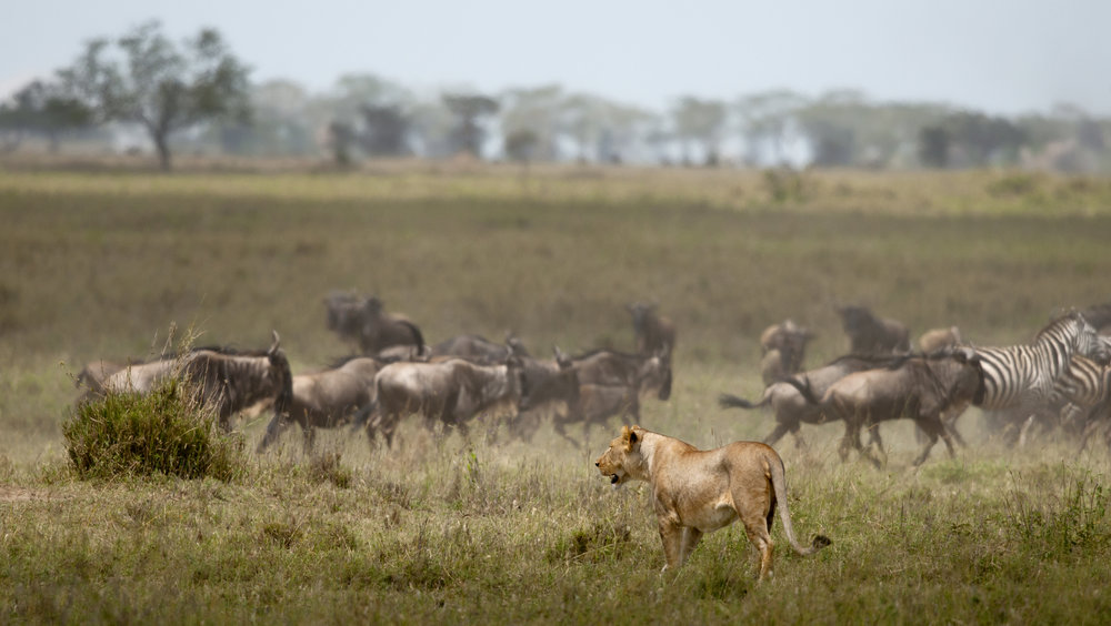 Lioness making a decision.jpg