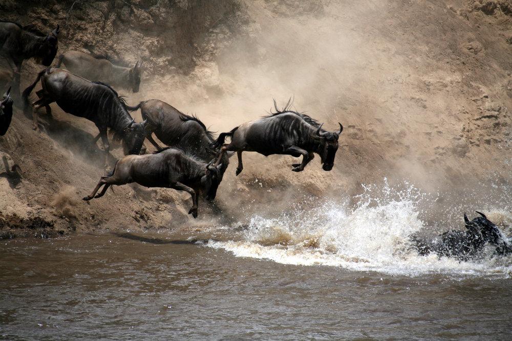 wildbeest river crossing.jpg