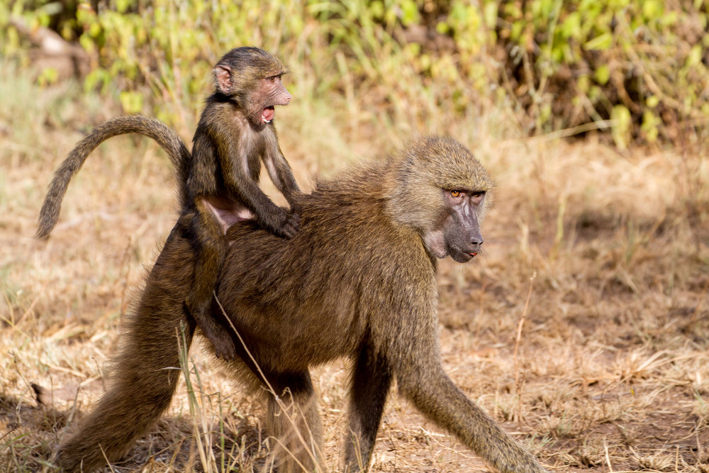 Baboon with baby.jpg