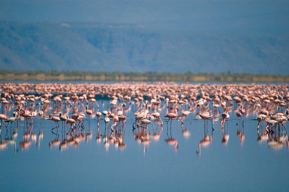 Flamingoes on Lake Natron.jpg