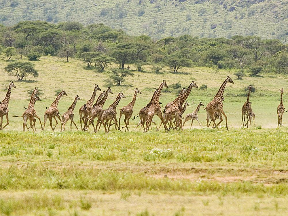 Giraffe on the run.jpg