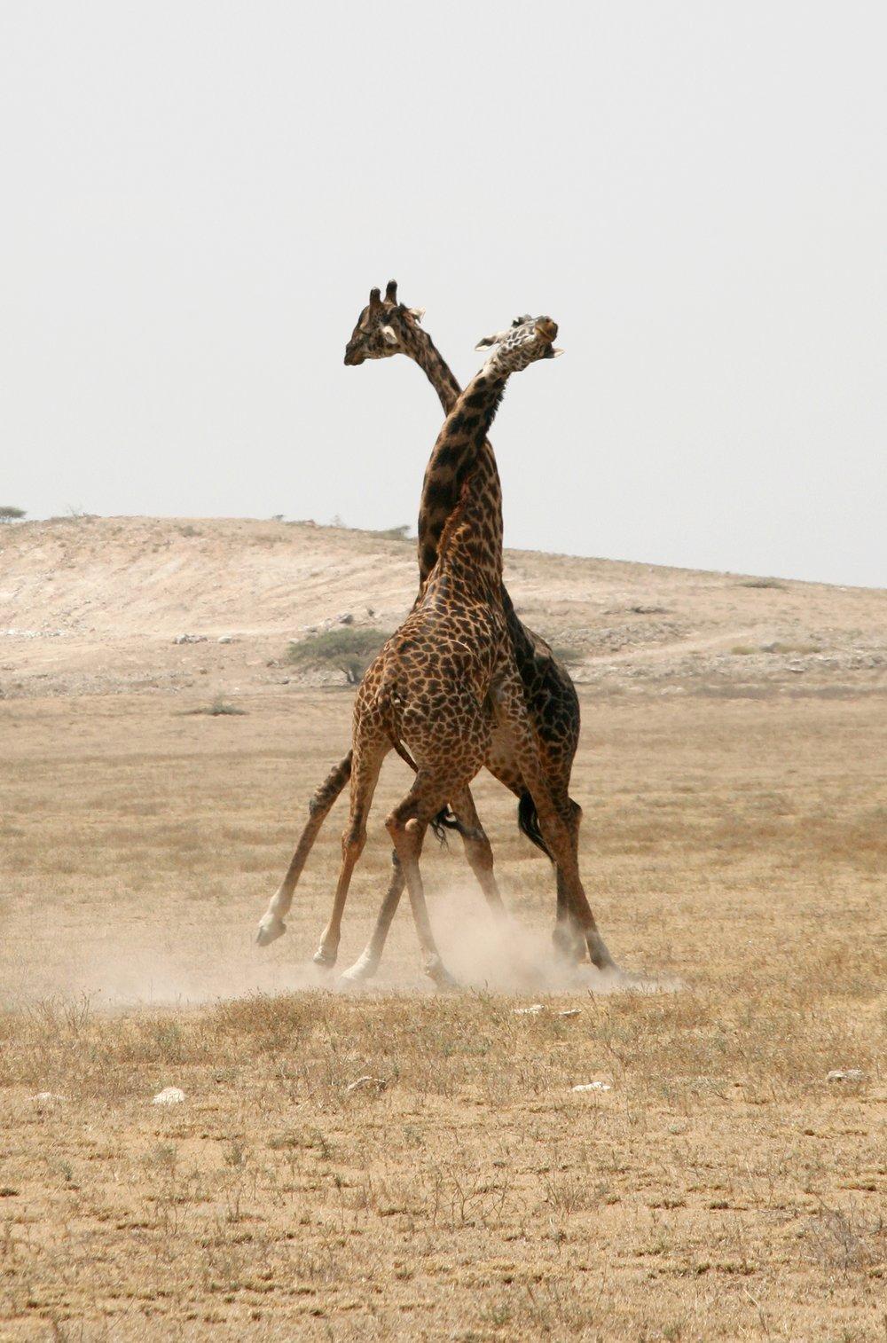 Giraffe fighting.jpg