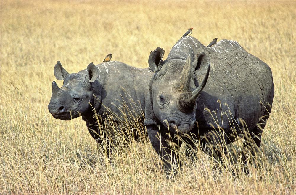 Rhino duet.jpg