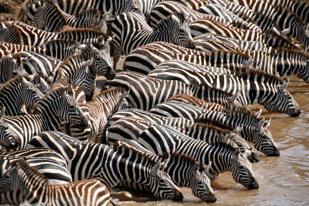 Zebra group drinking.jpg