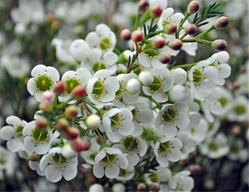 The stunning waxflower in season in winter would look beautiful as cake decor, part of your table flowers or bouquet against winter greenery.  Here are some more flower ideas.