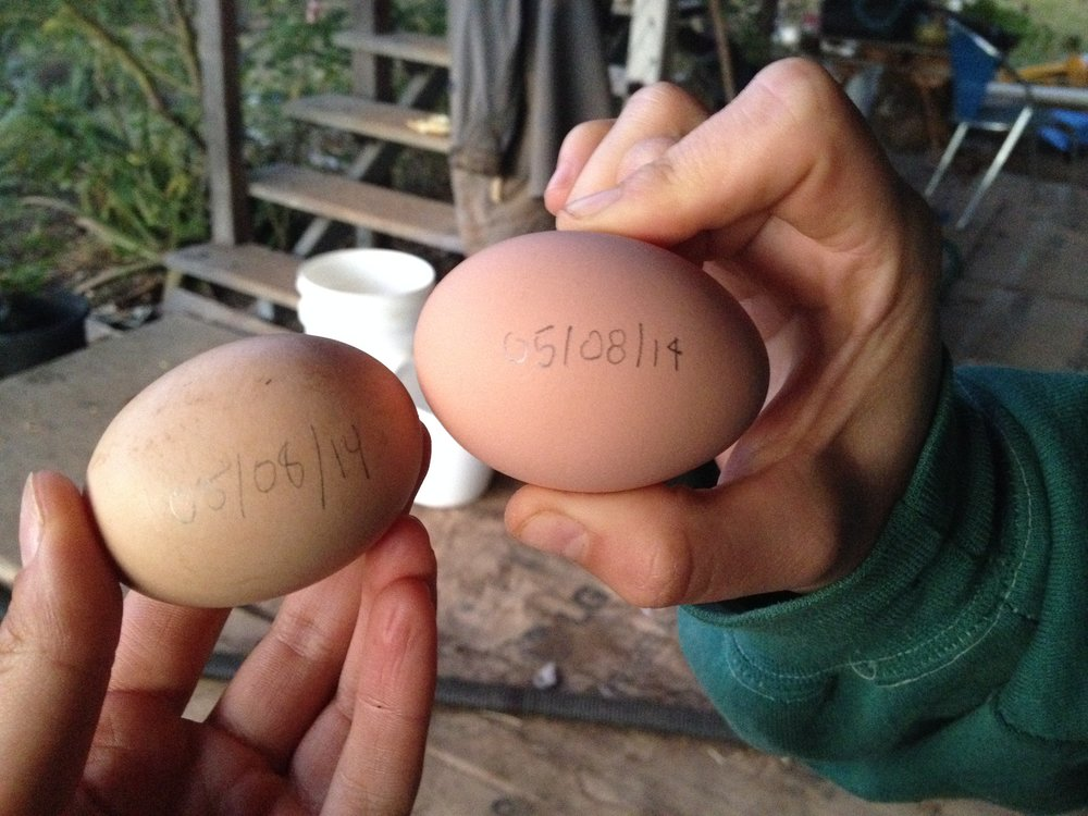 The 5th of August marked our last day of farming, so we immortalized the moment after we picked our last duck eggs.