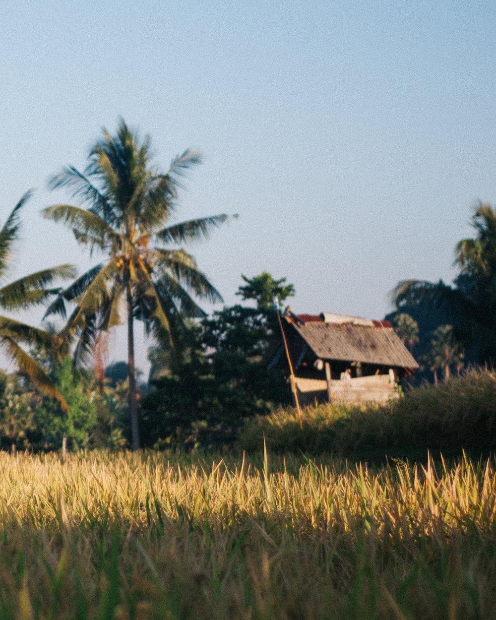 The rice paddies surrounding Ubud