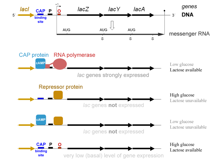 The lac operon genetic circuit. In response to glucose and lactose availability, E. coli regulates the expression of genes involved in lactose metabolism. (Wikimedia Commons)
