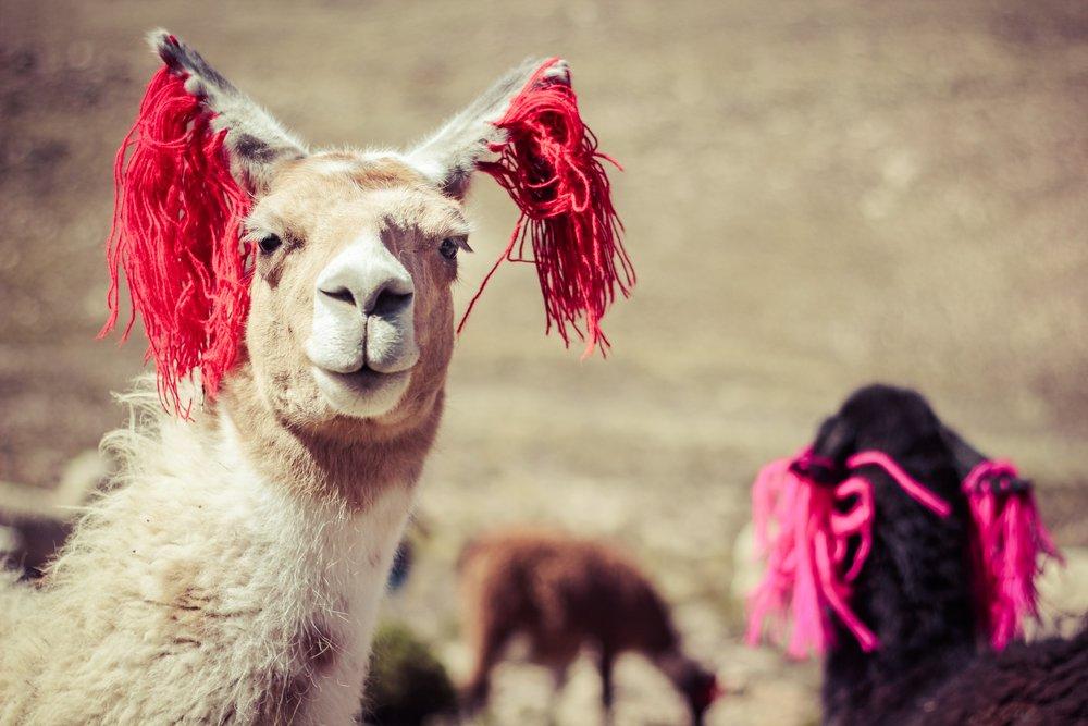 Fabulous Llama in Peru