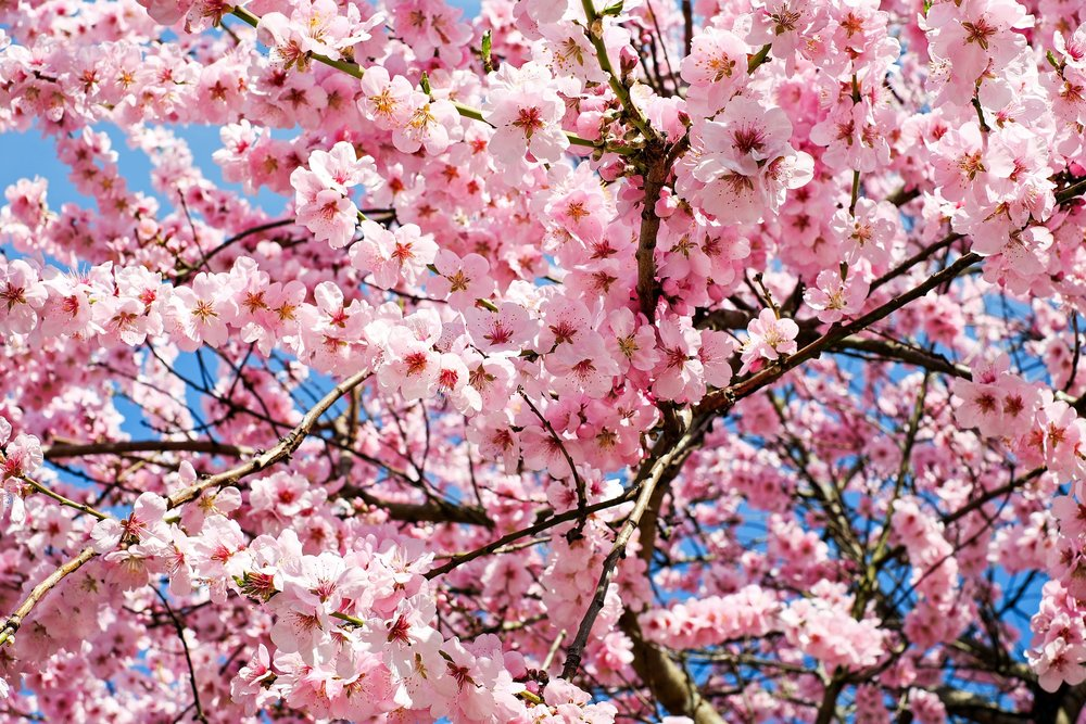 Cherry Blossom - another one that doesn't last long so take it in while you can.