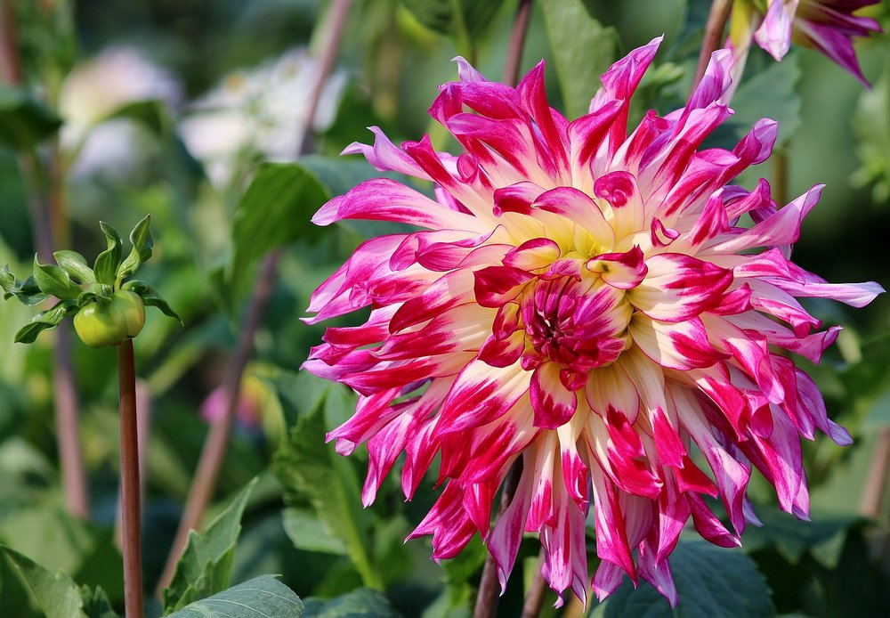 Lovely, deep coloured asters are the birth flower for September