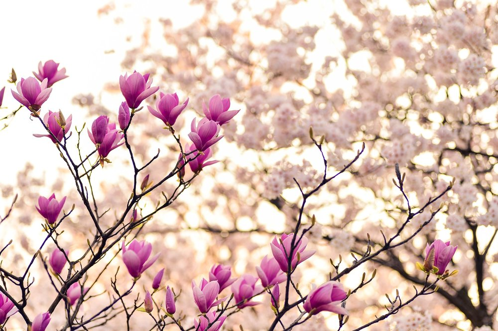 Magnolias are beautiful but don't last long!