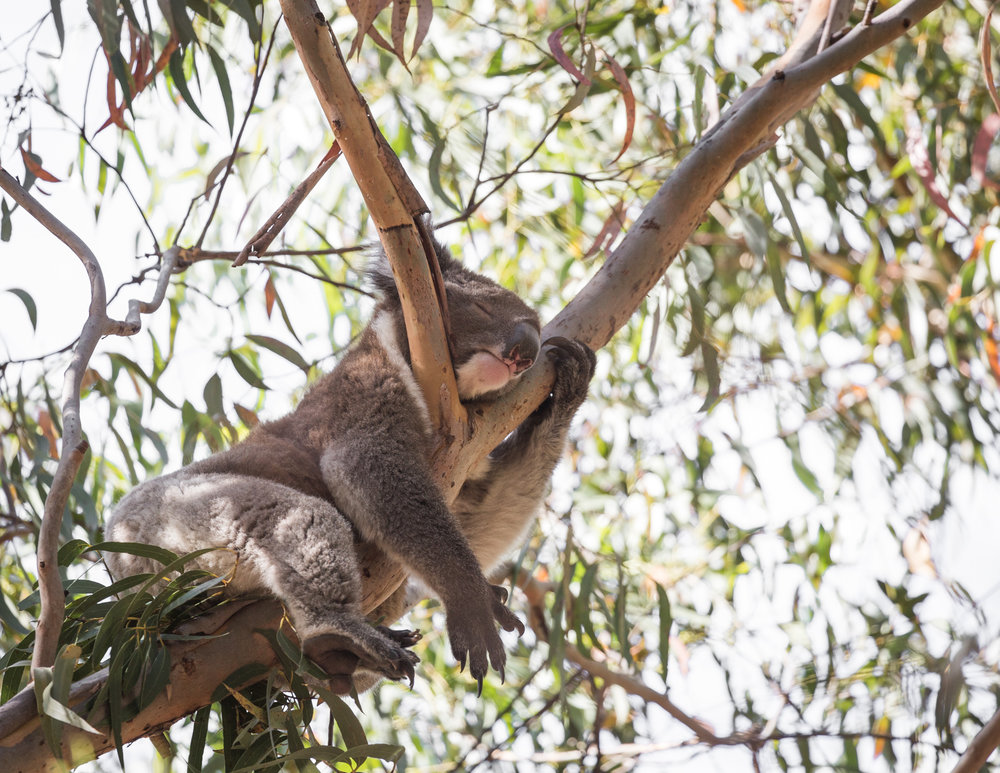 Koala in Flinders Chase National Park
