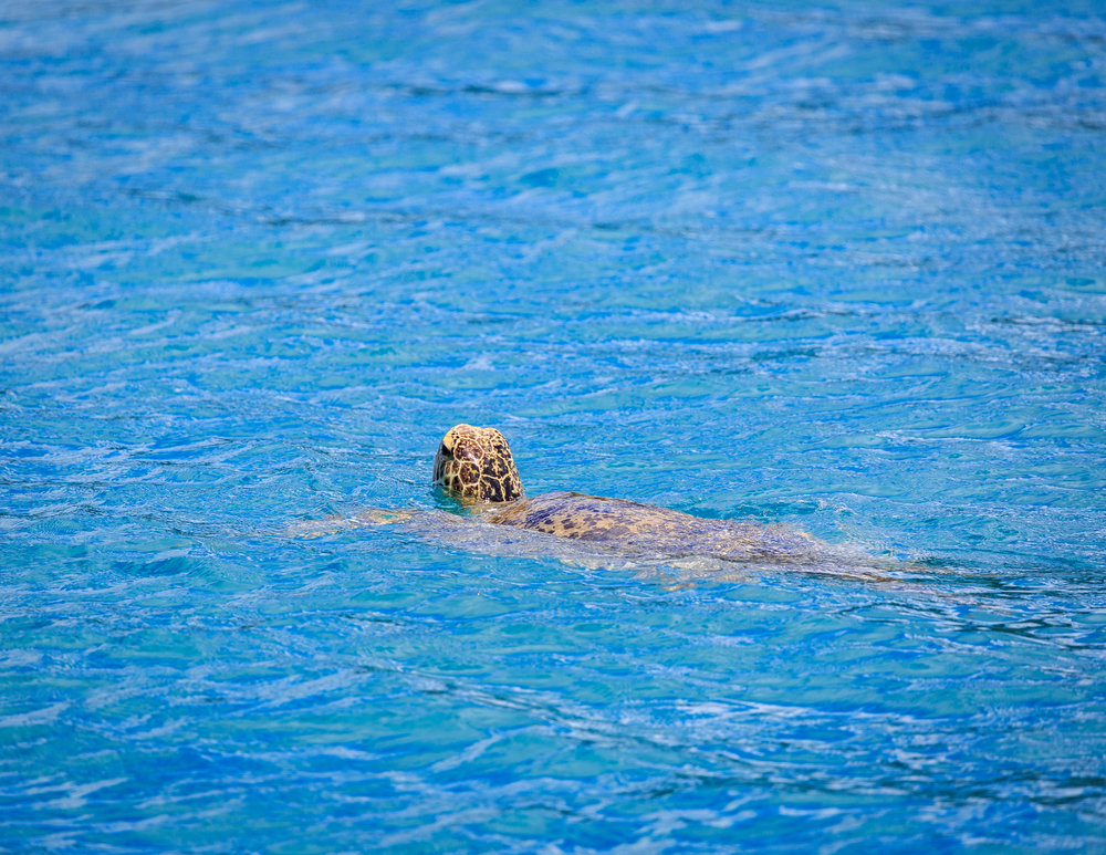 One of the many turtles we spotted from boat trips in the Whitsundays.