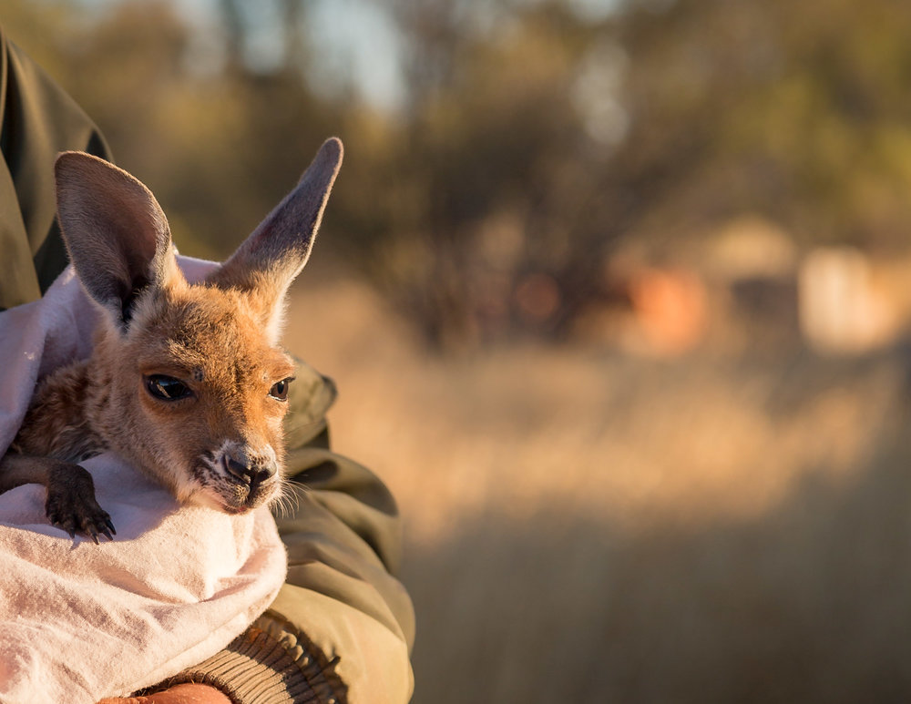 Things to do in Alice Springs: The Kangaroo Sanctuary