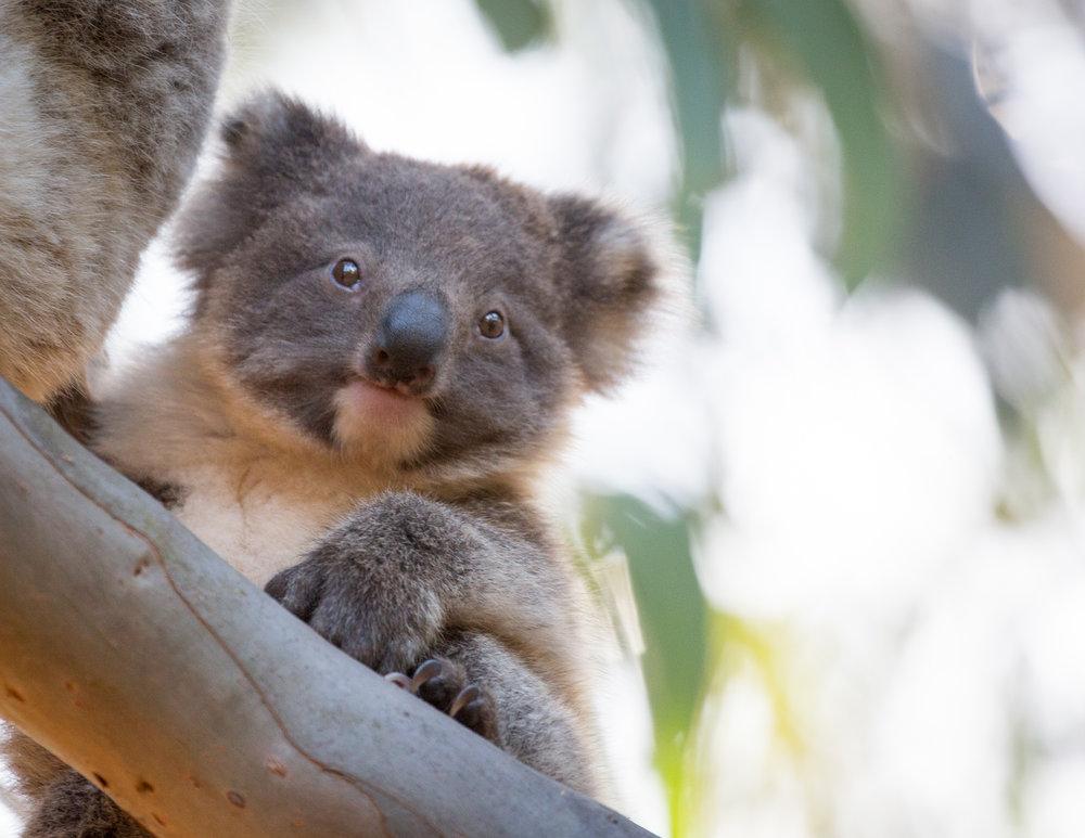 Koala on Kangaroo Island