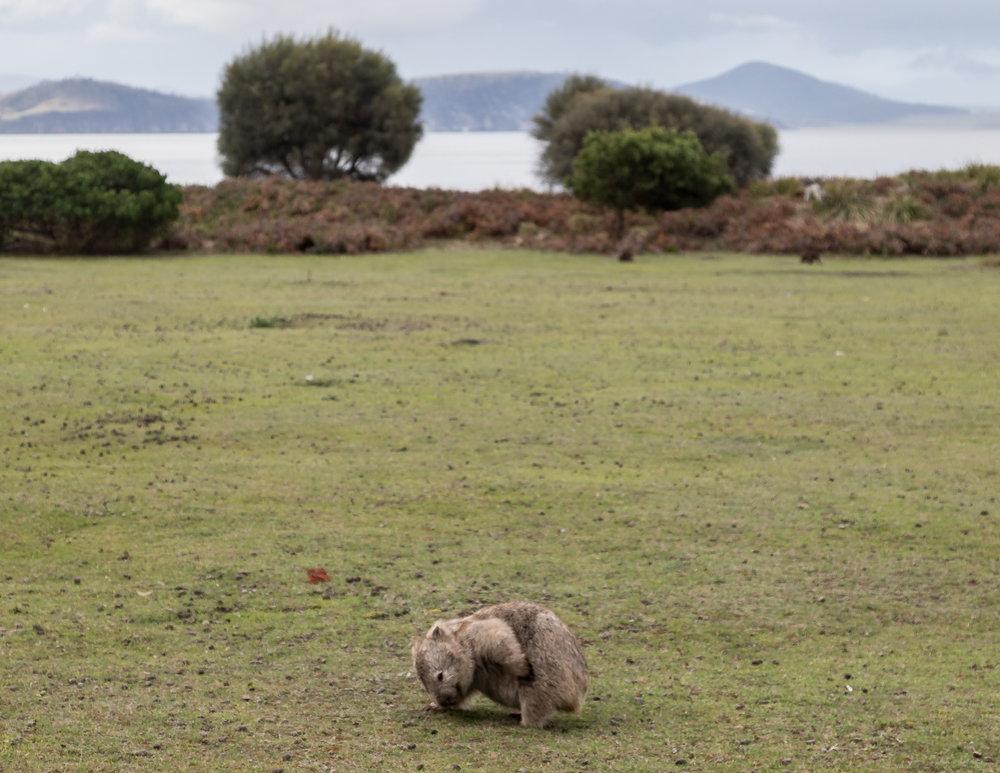 Wombats on Maria Island