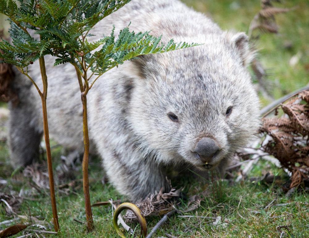 Wombat from Maria Island