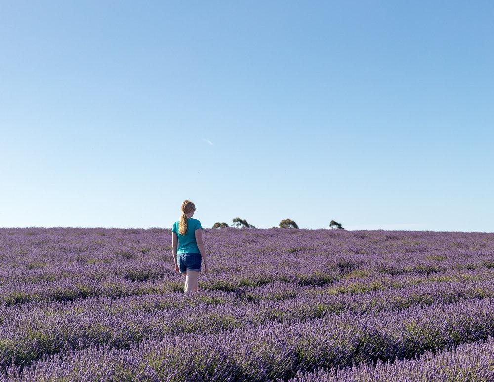 Bridestowe Lavender Farm, Tasmania