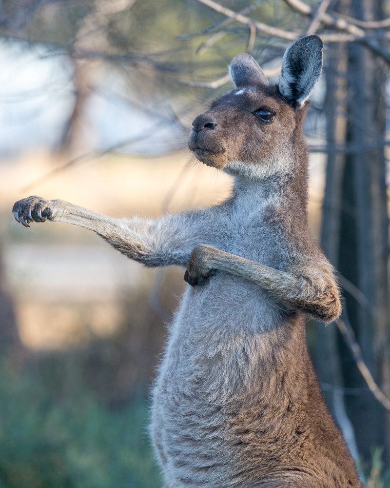 Hunter Valley, Best places to see wild kangaroos close to Sydney Kangaroos close to Sydney