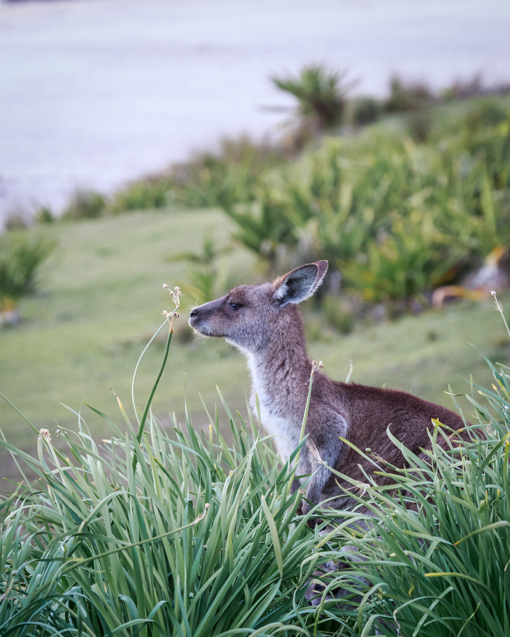 Bawley Point, best places to see wild kangaroos close to Sydney