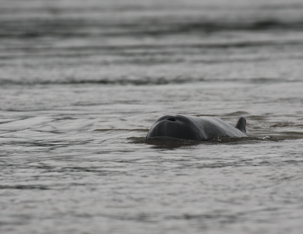 Best things to do in Cambodia, , Irrawaddy Dolphins