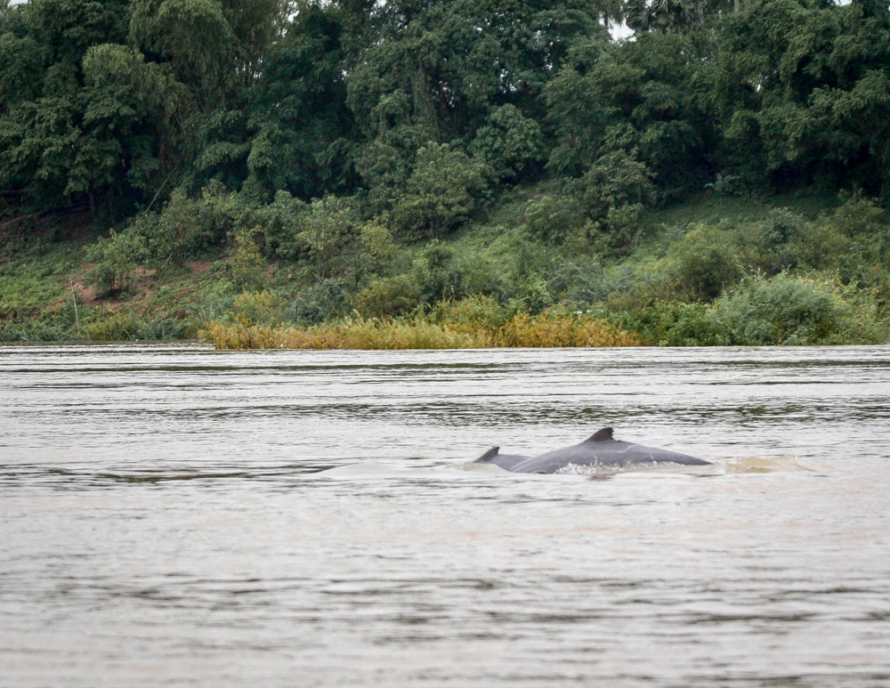 Best things to do in Cambodia, Irrawaddy Dolphins