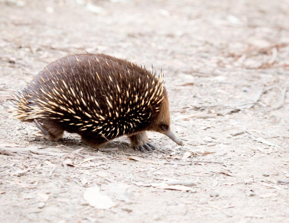 Echidna on Maria Island, Tasmania