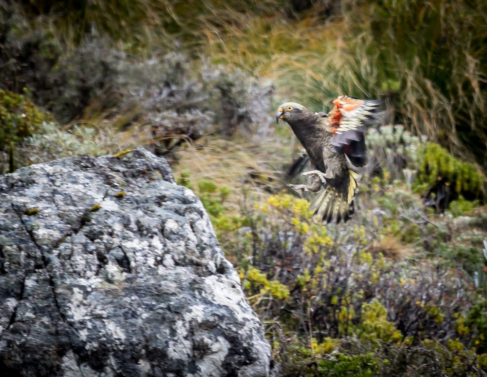 A Kea, the only alpine parrot in the world