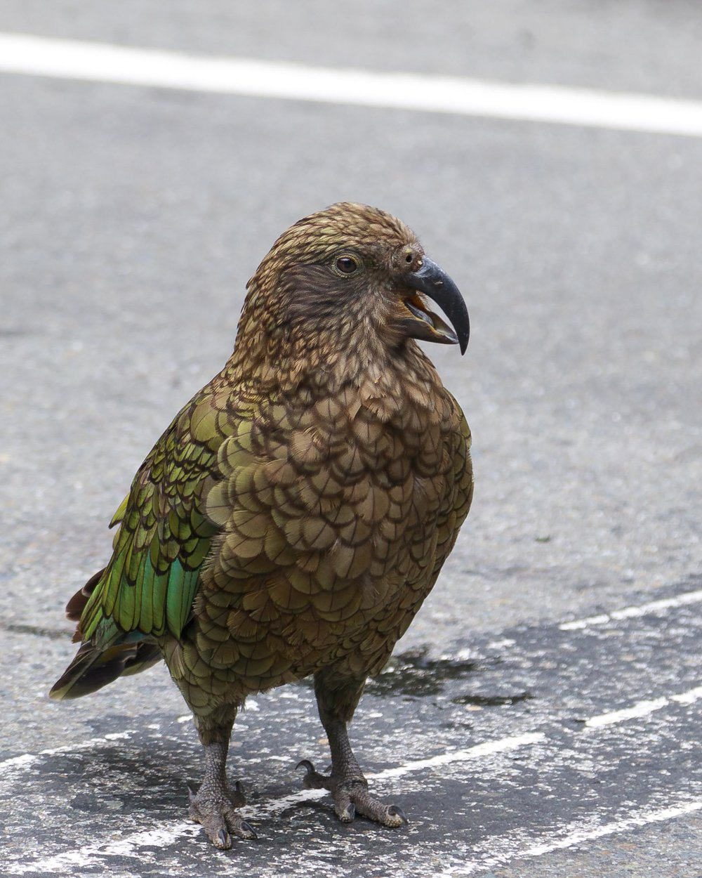 The world's only alpine parrot, the Kea.