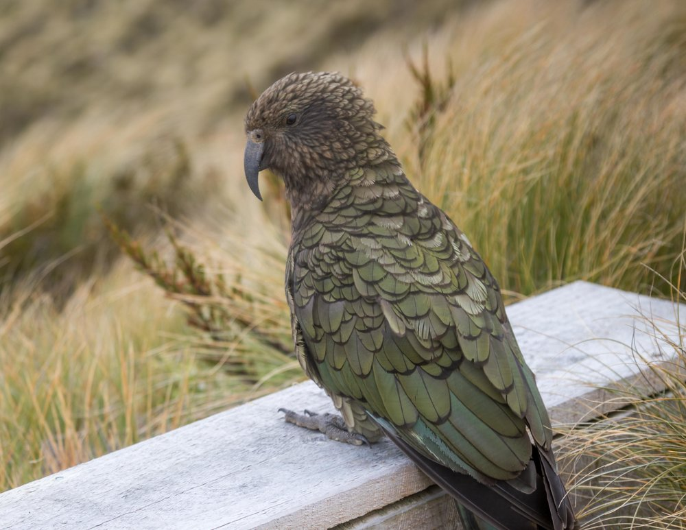 Cheeky Kea on the Kepler Track