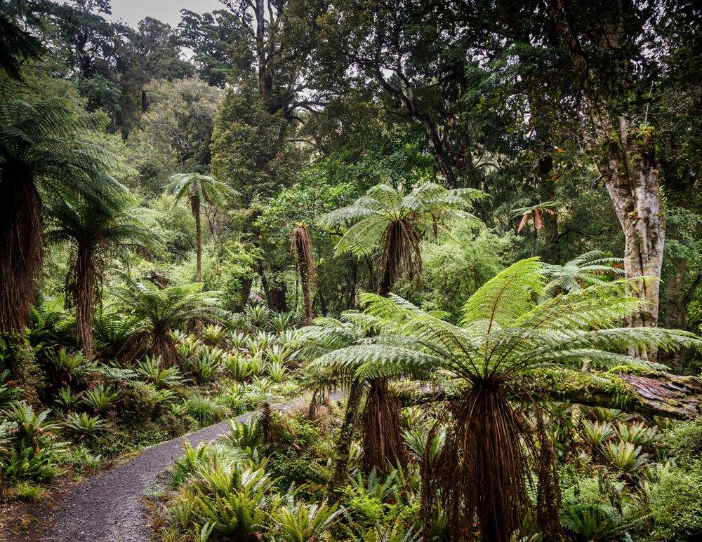 Ferns on the way to Port William, Rakiura Track