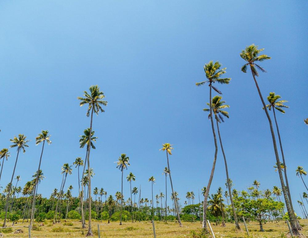 Palm trees in Vanuatu