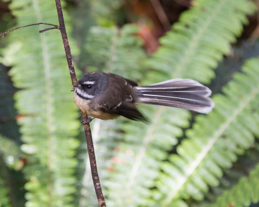 Fantail on the Rakiura Track
