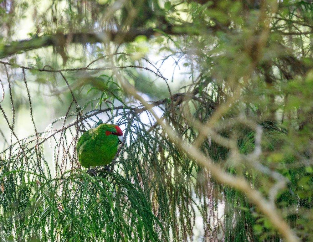 New Zealand Parakeet