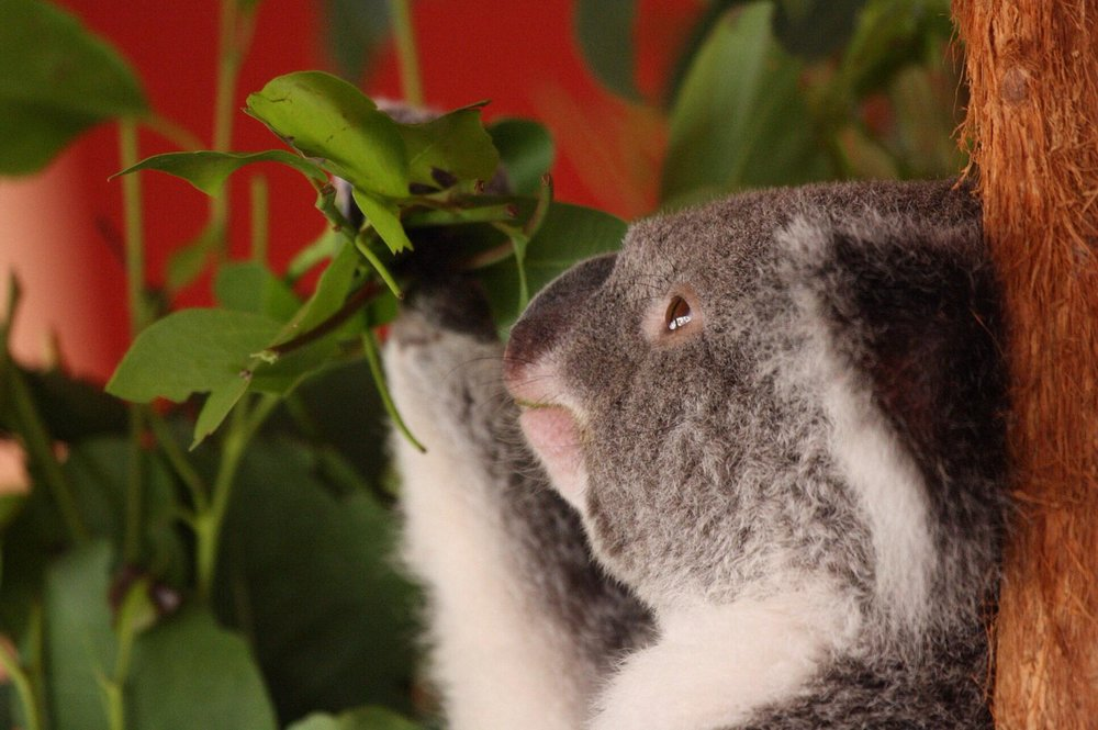 Koalas at Port Stephens: Where to see wild koalas in Australia