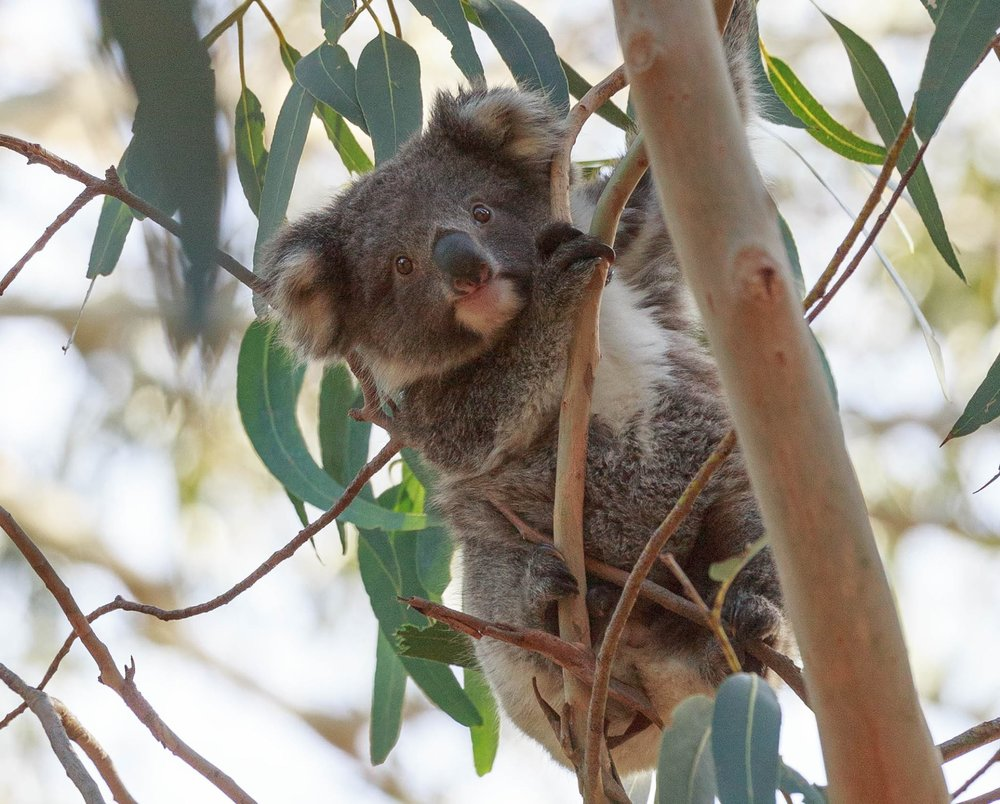 Koalas in Harriet River, Where to see wild koalas in Australia