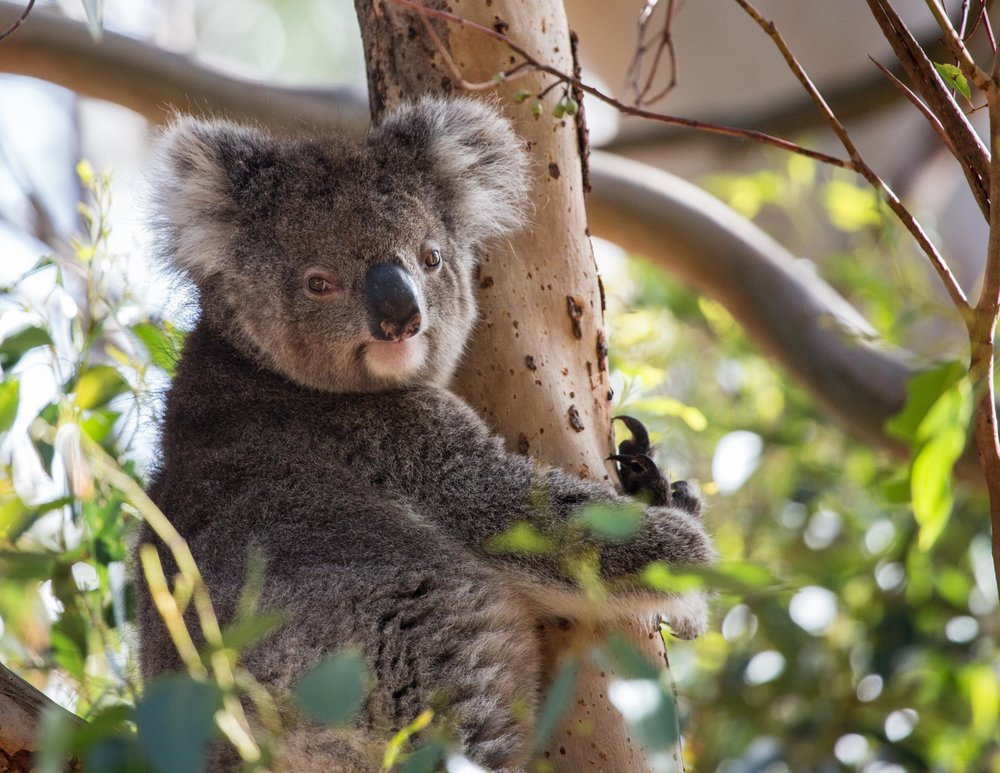 Tidbinbilla Reserve, Where to see wild koalas in Australia