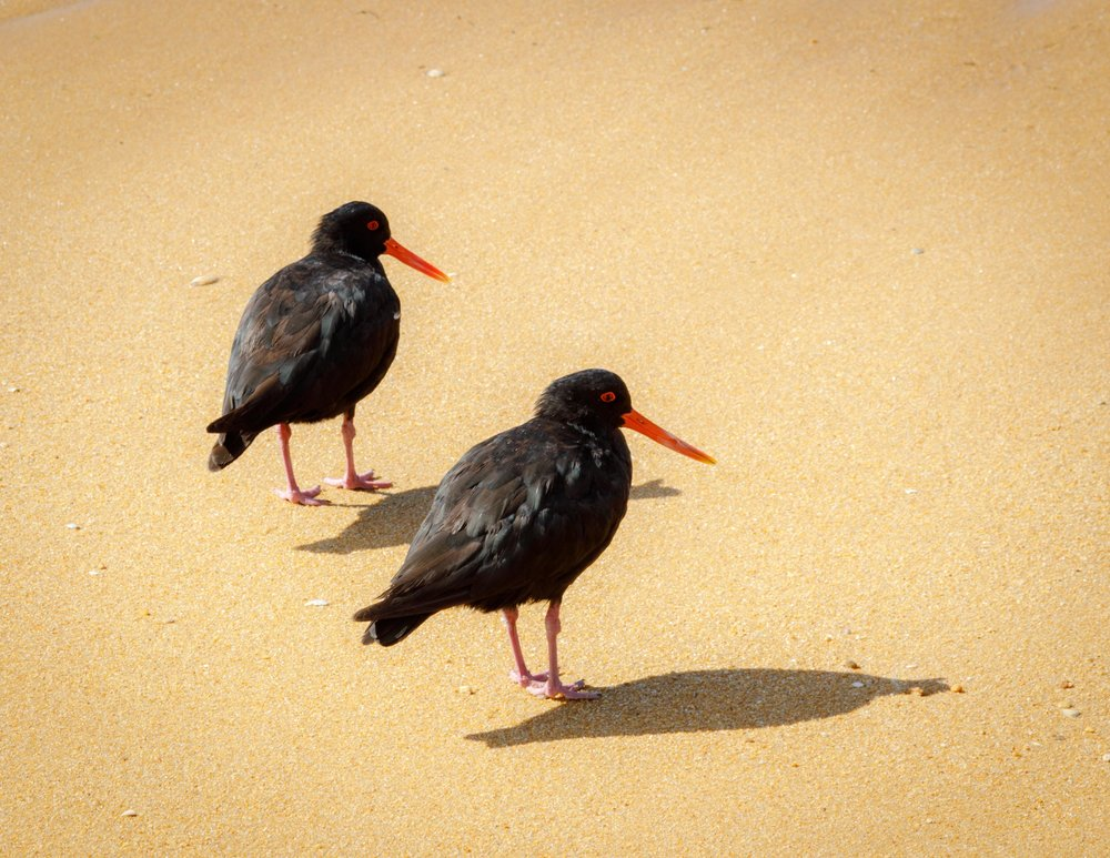 Oystercatchers on Onetahuti Bay