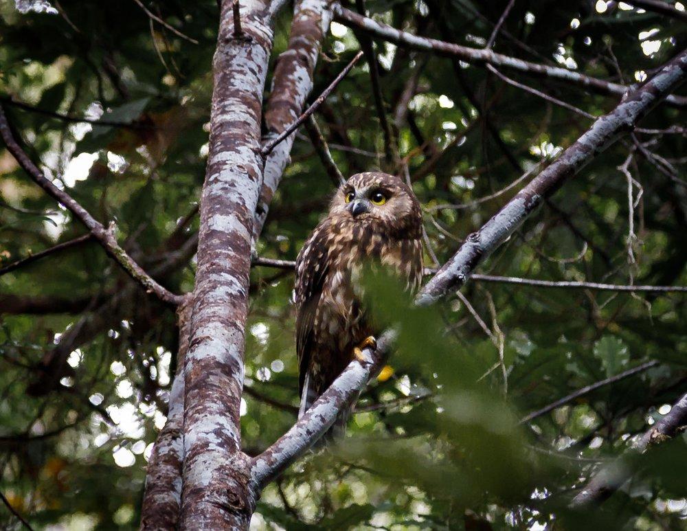 Ruru or Morepork - a native owl