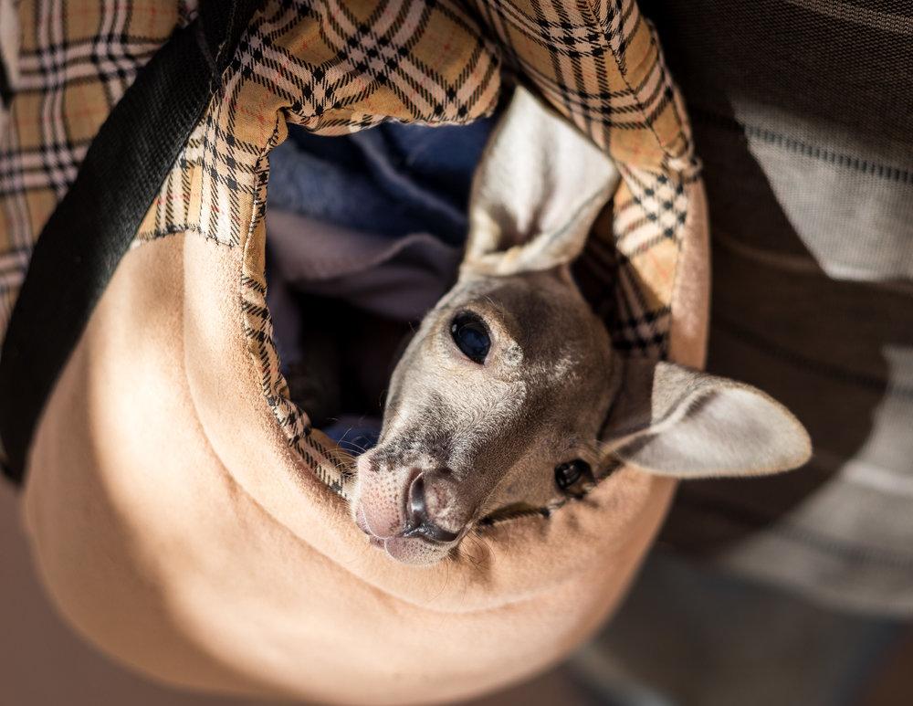Orphaned kangaroo that was saved by Josephine's Kangaroo Orphanage