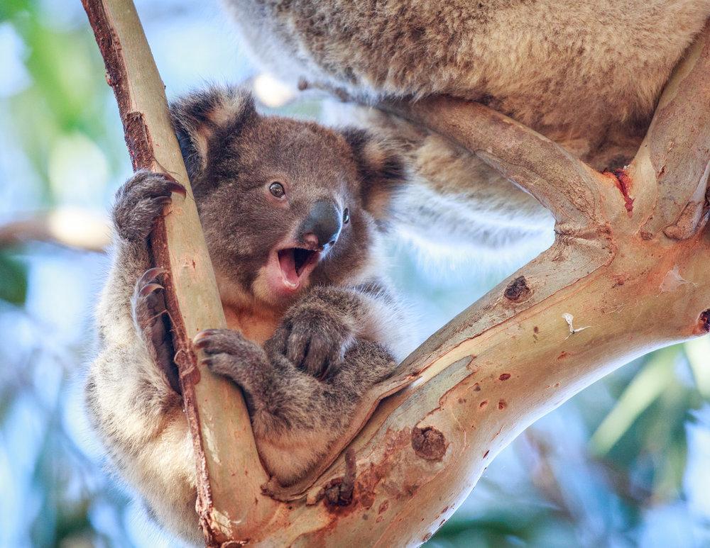 Koala at Hanson Bay, Kangaroo Island