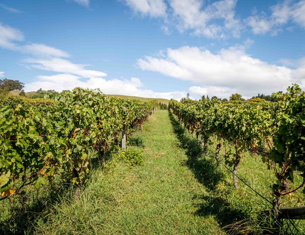The vineyard at Black Barn Vineyard