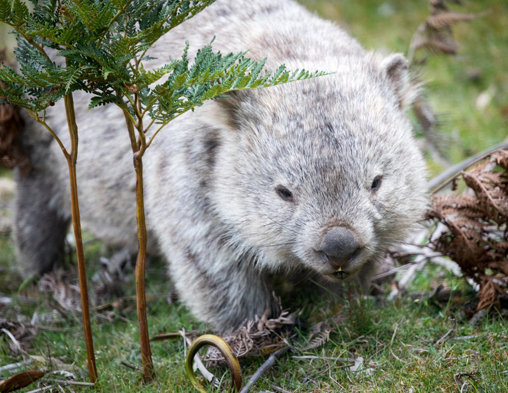 Where to wombats in the wild in Tasmania: Maria Island