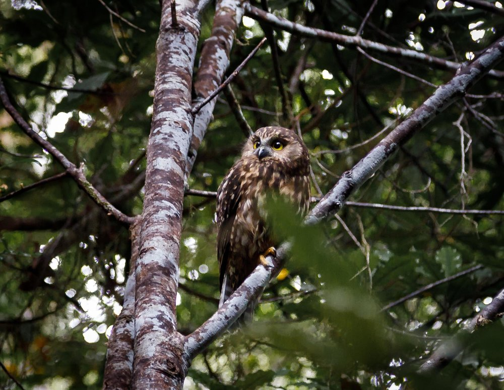 Morepork on the Heaphy Track