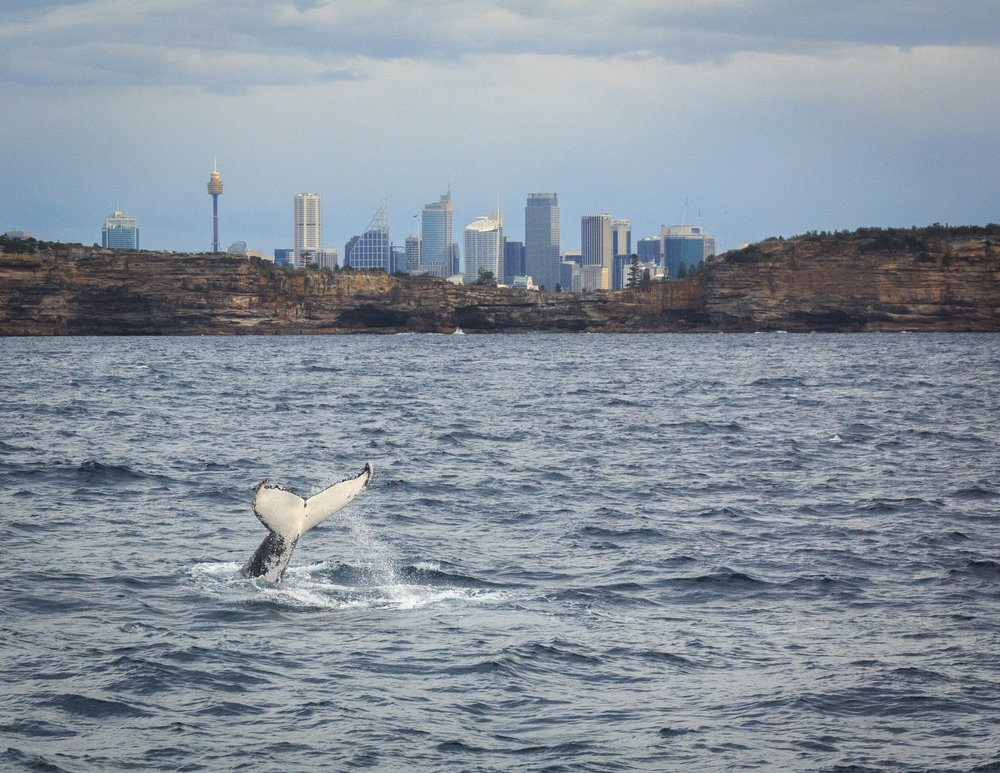 Places to visit in Sydney: Whale Watch