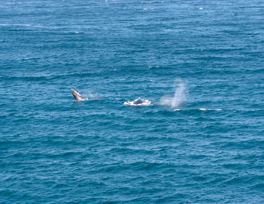 Best things to do in Bondi: Whale Watch from the Cliffs