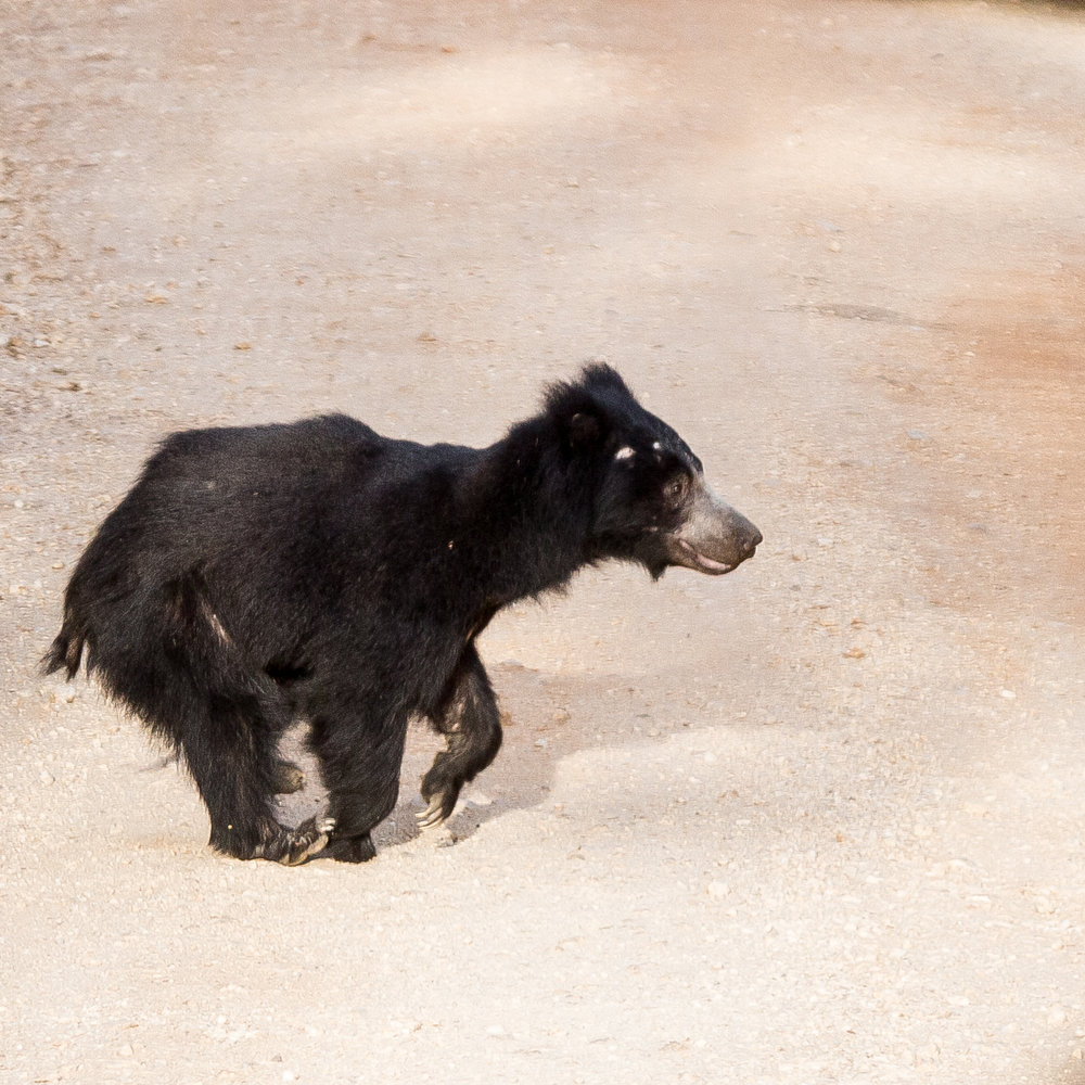Yala Safari: Sloth Bear
