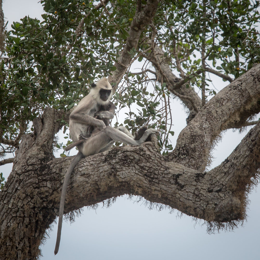 Yala National Park Safari: Langur Monkeys