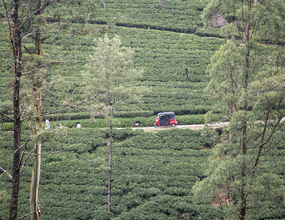 Best things to do in Nuwara Eliya when it rains - Damro Tea Plantation